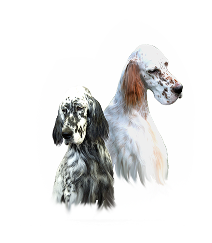 Wyndswept English Setter